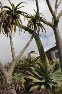 Agave attenuata colliding with Aloe beharensis 2