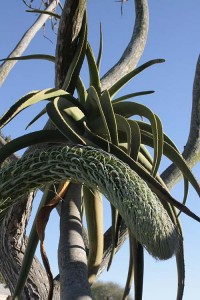 Agave attenuata colliding with tree aloes