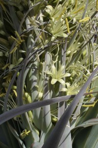 Agave attenuata flowers closeup 2