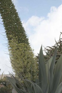 Agave attenuata spike middle range