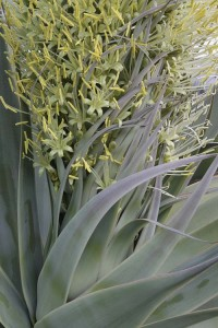 Agave attenuata spike with flowers emerging from plant
