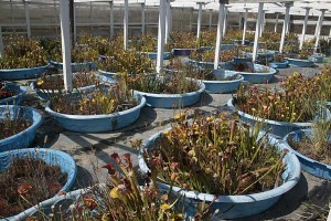 California Carnivores propagation ponds
