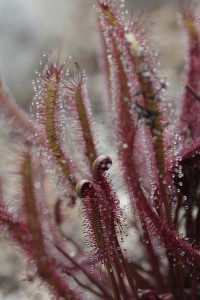 Drosera capensis Red Form in December