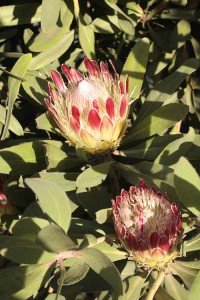 November Protea Pink Ice