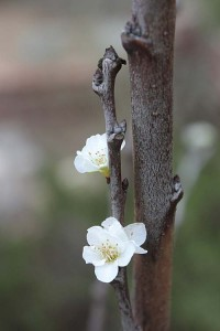 November plum blossoms