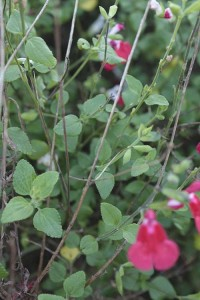 Salvia Hot Lips leaves