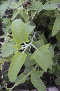 Salvia sagittata leaves
