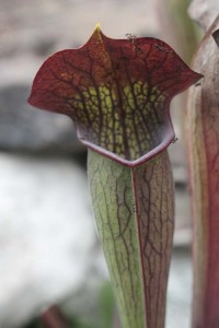Sarracenia alata Red Lid in December