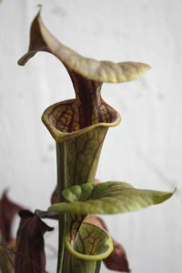 Sarracenia flava coppertop