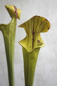 Sarracenia flava wide mouthed variety