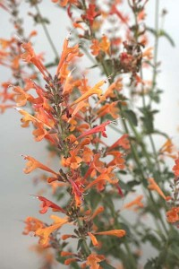 agastache-aurantiaca-apricot-sprite-with-white-background