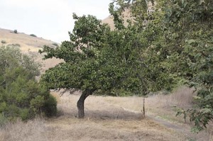 Old apricot in Lopez Canyon