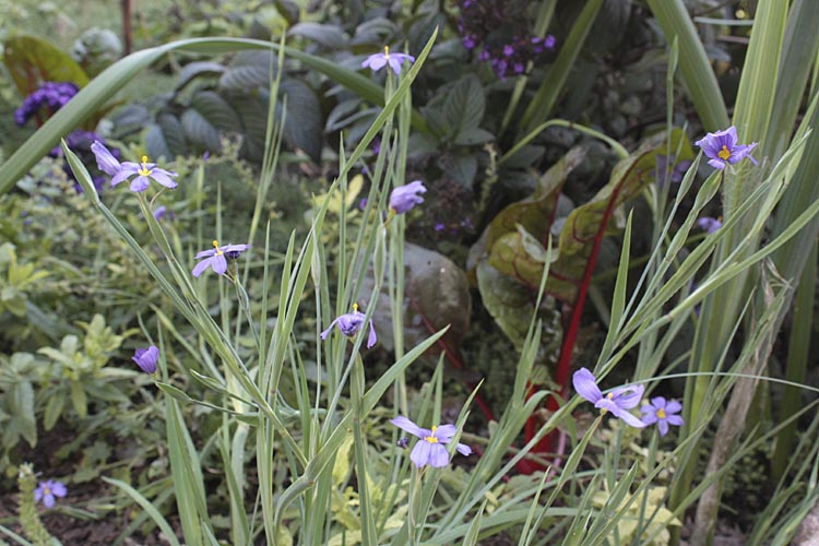 Blue Eyed Grass Drawing Blue-eyed-grass-with-chard-and