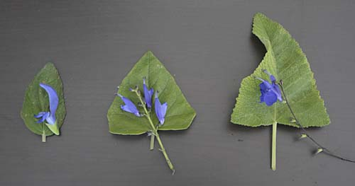 Three salvias compared
