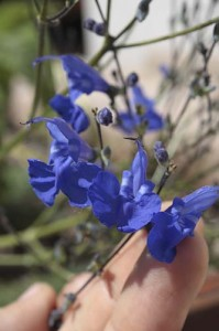 Arrow-leaved sage flower