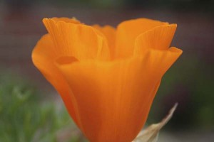 california-poppy-closeup
