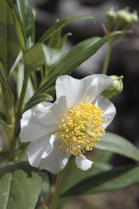 carpenteria-californica