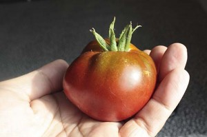 The first Cherokee Purple tomato
