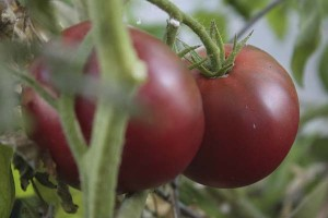 cherokee-purple-tomatoes