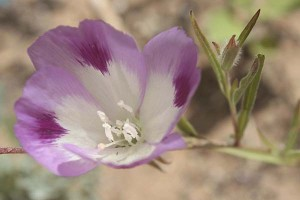 clarkia-williamsonii-closeup