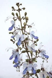 clerodendrum-ugandense-with-white-background