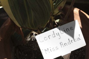 cordyline-sign