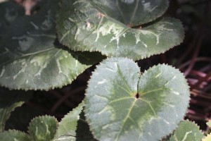 cyclamen-leaves