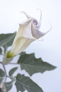 datura-wrightii-with-white-background