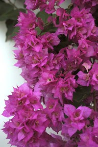 double-pink-bougainvillea-with-thie-background