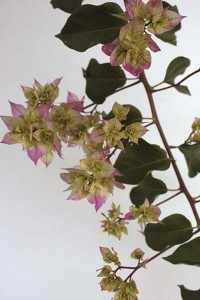 double-variegated-bougainvillea-with-white-background