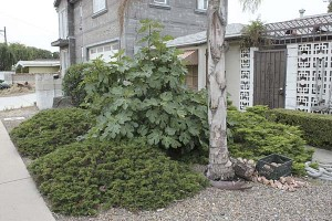 dry-yard-with-junipers-and-fig