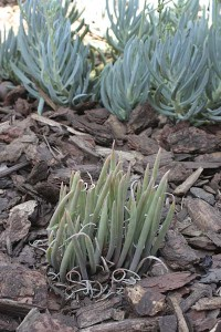 dudleya-and-senecio