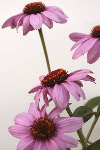 echinacea-purpurea-2-with-white-background