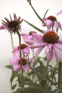 echinacea-purpurea-with-white-background