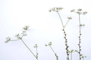 eriogonum-fasciculatum-with-white-background