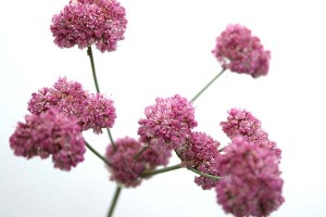 eriogonum-grande-rubescens-with-white-background
