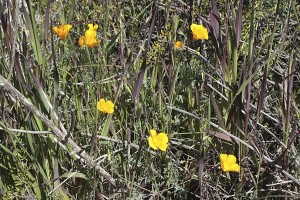 escholzia-californica-maritima-in-situ