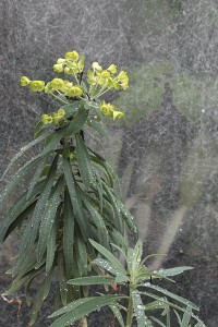 greenhouse-euphorbia-outside