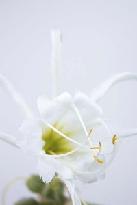 hymenocallis-festalis-with-white-background