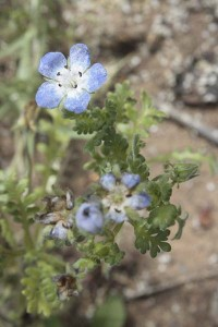 nemophila-menziesii-at-the-end-of-the-season