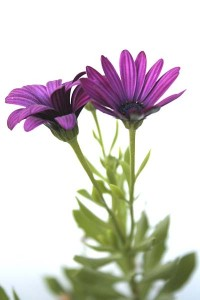 osteospermum-with-white-background