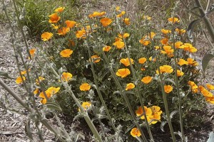 poppies-and-sage
