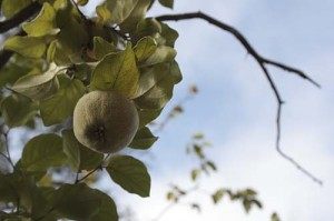 Fruit on old quince tree