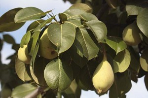 Quince or pear fruit