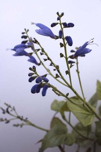 salvia-cacaliaefolia-with-white-background