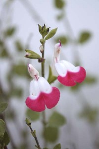 salvia-microphylla-hot-lips