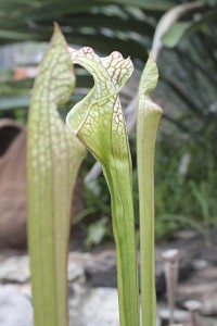 sarracenia-leucophylla-tarnok-with-new-growths