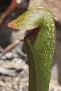 sarracenia-minor