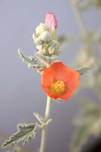sphaeralcea-ambigua-with-white-background