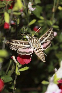 sphinx-moth-feeding
